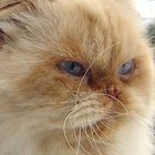 Himalayan Persian Cat Colors