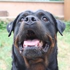 Different Kinds of Rottweilers