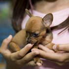 Facts About Baby Chihuahuas