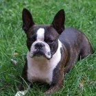 Signs & Symptoms of Blindness in Boston Terriers