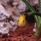 Lemon Cichlid Information