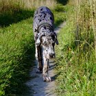 How to Contact a Rescue Organization for Great Danes