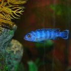 What Lighting Do Cichlids Prefer?