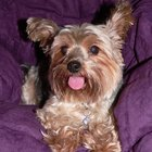 Yorkie Rescue Groups in Texas