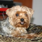 What Colors Are Yorkie Terriers Coats?