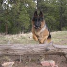 How to Help German Shepherds With Hip Problems