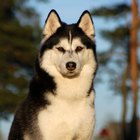 About Siberian Huskies