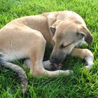 About Renal Failure in Dogs
