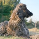 How to Keep an Afghan Hound's Hair from Matting