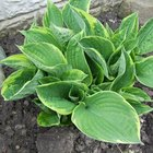 Are Hosta Plants Dangerous to Dogs if Ingested?