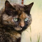 Tortoise Shell Cat Information