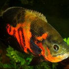 What Kind of Cichlid Is an Oscar?