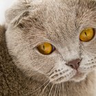 Difference Between Scottish Fold Cats & American Curl Cats