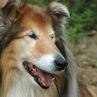 Collie Nose in Dogs
