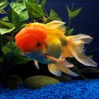 What Does It Mean When Your Goldfish Swim to the Top of the Bowl?