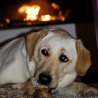 Common Diseases for Labradors