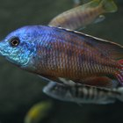 How to Identify Types of African Cichlid Fish