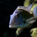 How to Handle a Dominant Cichlid