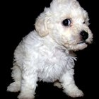 How to Care for Toy Poodle Puppy