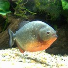 Feeding Tips for Red Belly Pacu