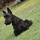 Bathing Scottish Terriers