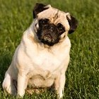 Information on the Pug-Zu Mixed Breed Dog