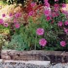 Cosmos add height as well as color to the garden.