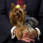 What Is the Difference Between a Teacup Yorshire Terrier & a Toy Yorkshire Terrier?