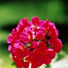 Are Geraniums Poisonous to Cats?