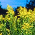 Goldenrod is a tall, low-maintenance fall plant.