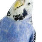 Symptoms of a Stressed-Out Parakeet