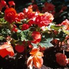 Grow primroses in a partially shaded area.