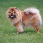 Do Chow Chows Have Winter Coats?