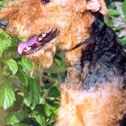 Airedales and Skin Infections