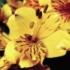 Vivid blossoms make Alstroemeria popular for commercial growers.