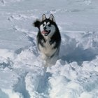 The Best Dogs for an Alaskan Climate