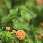 Lantanas grow relatively rapidly to overcome snail damage.