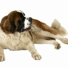 Signs & Symptoms of Pregnancy in Saint Bernards