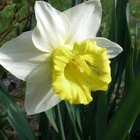 All parts of the daffodil are highly poisonous to dogs.