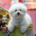 How to Keep Up a Bichon Between Grooming