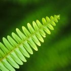 Ferns reproduce by spores found on the underside of leaves.