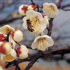 Ornamental trees that produce high amounts of nectar may attract bees.
