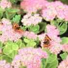 Flowered sedum attracts winged wildlife.