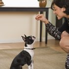 How to Train a Boston Terrier to Do Tricks