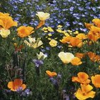 Orange blooms from California poppies create a dramatic presence among blue lobelia.