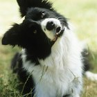 Border Collie Skin Disorders