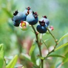 Both highbush blueberry and huckleberry bushes bear deep blue-black berries.