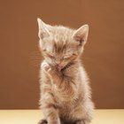 What Is the Bobtail Effect in Kittens?