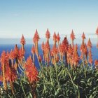 Aloe can spread out and cover large areas of the ground.