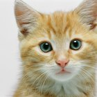 Can Antibiotics Thin a Kitten's Fur?